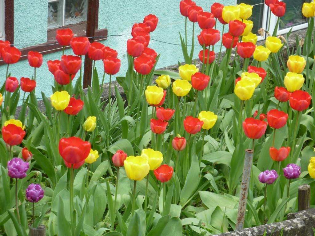 Tulpen (Copyright: Vera Ihrig)